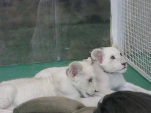 ホワイトライオン300