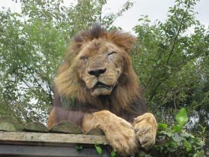 ライオン300