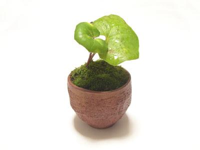 豆盆栽01