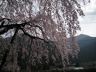 神山シダレザクラ3