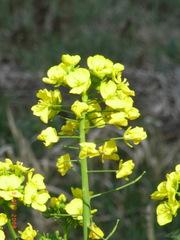 仙台雪菜の花