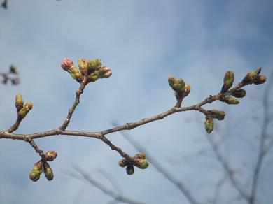 もうすぐ咲くから待っててちょ♪