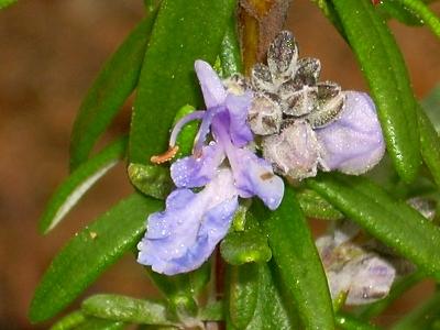 Anna Hulka flower
