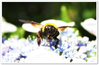 紫陽花と熊蜂