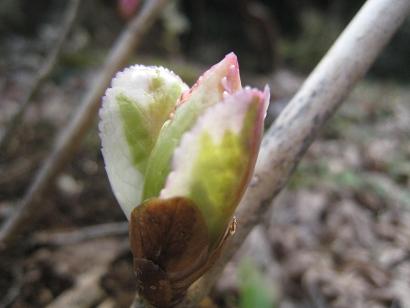 3/14 斑入りアジサイの芽
