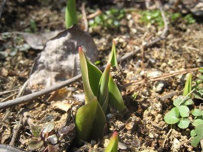 3/14 チューリップの芽