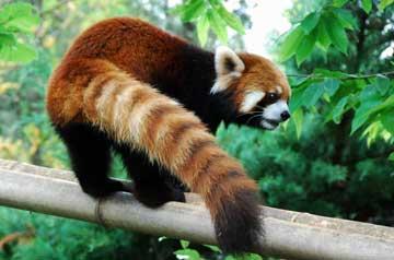 resa-panda01.jpg