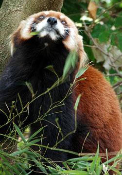 ressa-panda05.jpg