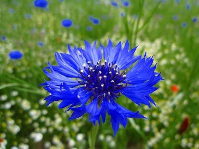 青い花~♪