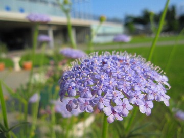 なんという花か知りません。淡い紫。