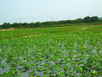 レンコン畑と思われます