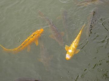 近づくだけで寄ってくる鯉の大群っぴ