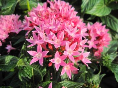 ペンタスの花。