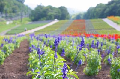入園してすぐ広大な花畑。