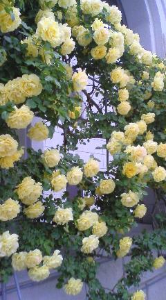 090603_1056~01豊科黄色薔薇