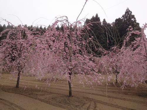 230416 赤仁田枝垂れ桜11