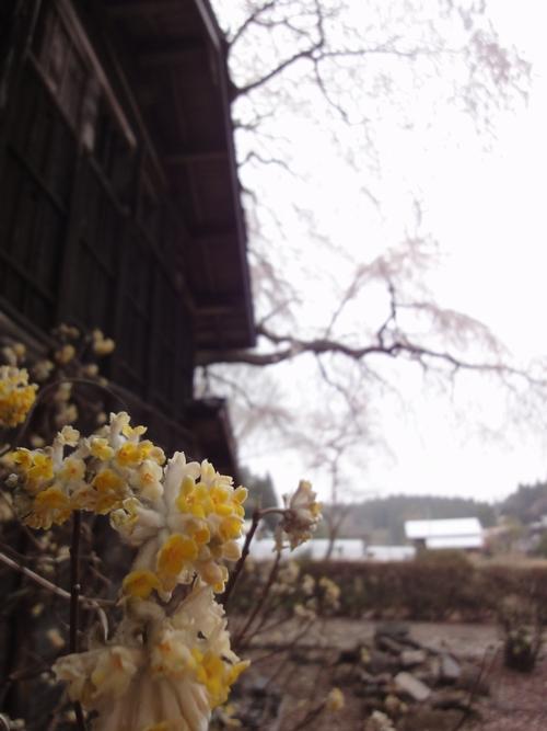 230416 赤仁田枝垂れ桜13