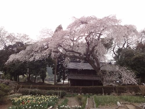 230416 赤仁田枝垂れ桜5-1