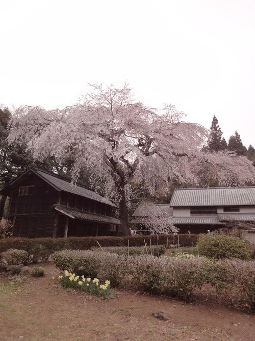 230416 赤仁田枝垂れ桜2-1