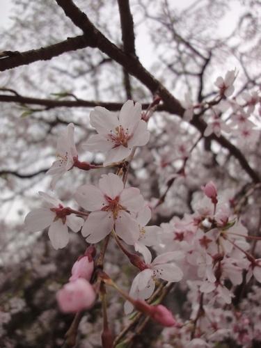 230416 赤仁田枝垂れ桜8-1