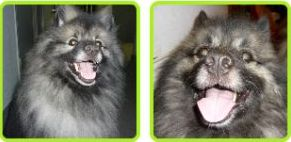Leo and Jade The Keeshond Daily life