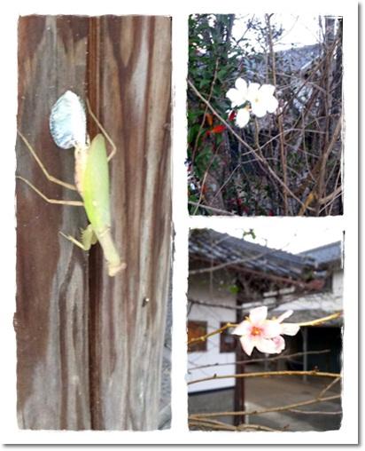 2011・10・18・カマキリの産卵&桜