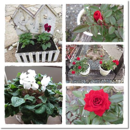 2011・10・19・ミニ薔薇