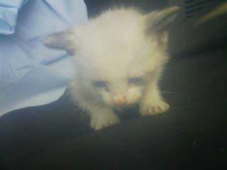 carolさん保護~シャムmixの仔猫