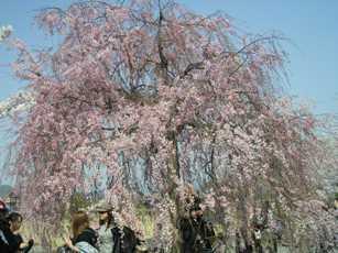 嵐山の中ノ島公園のしだれ桜