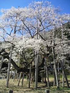 根尾の薄墨桜2
