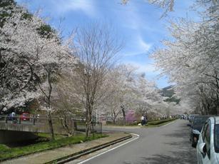 寺尾ヶ原千本桜公園2