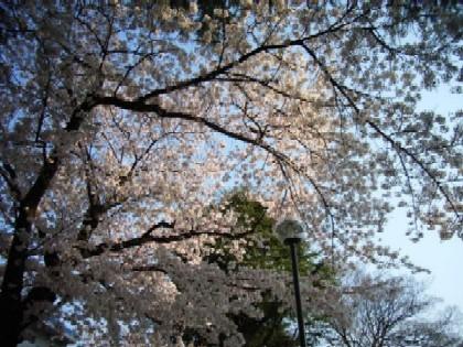 09年の桜