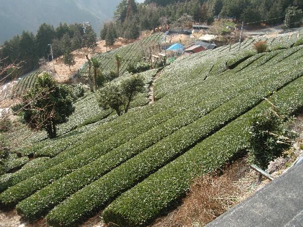 P2150036.JPG茶畑.jpg