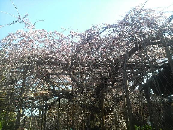 浦和・玉蔵院しだれ桜