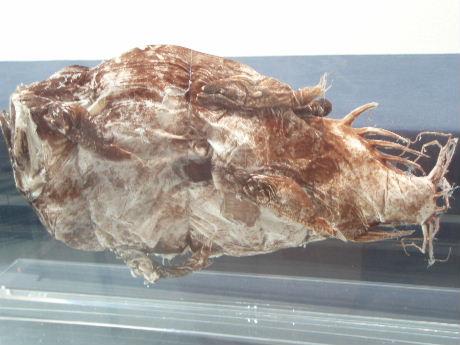 チョウチンアンコウ剥製