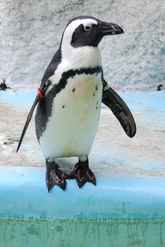 ケープペンギンですが?