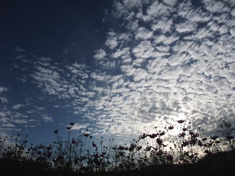 コスモスの陰とうろこ雲