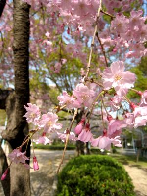 中津公園桜01