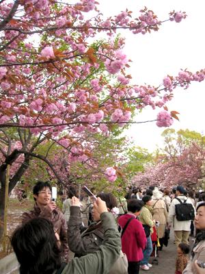 桜通り抜け01