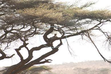 ケニア 豹