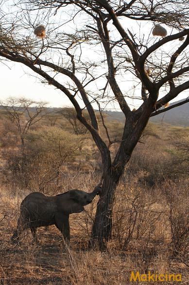 ケニア 象の子供