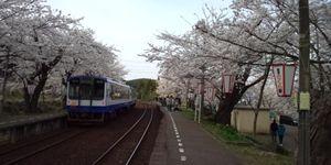 sakura5_R.jpg