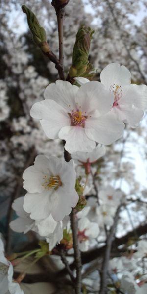 sakura7_R.jpg