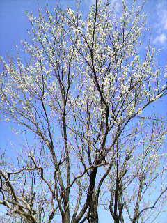 裏庭の梅ノ木