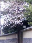 世田谷文学館 桜と蔵