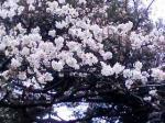 世田谷文学館 桜