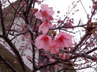 2011・桜1