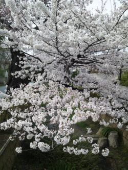 呑川緑道桜2012.4.7