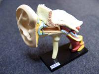 人体解剖模型 耳 1