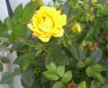 薔薇って漢字書ける?